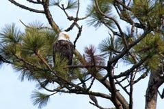 Eagle hockte im Baum. Lizenzfreie Stockfotos