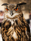 Eagle or Horned Owl Royalty Free Stock Images