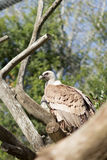 Brown eagle portrait Royalty Free Stock Images