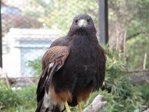 Eagle hunter Royalty Free Stock Image