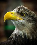 Eagle hunter Stock Photography