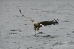Eagle Hunting Fotografie Stock