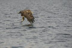 Eagle Hunting Lizenzfreies Stockbild