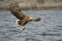 Eagle Hunting Royaltyfria Bilder