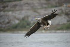 Eagle Hunting Royaltyfri Bild