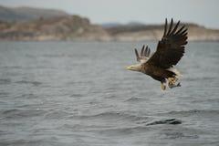 Eagle Hunting Fotografering för Bildbyråer