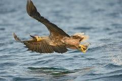 Eagle Hunting Arkivbild