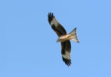 Eagle Hunting. Red Kite eagle flying on a blue sky day Stock Photography