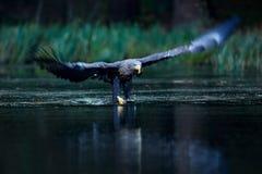 Eagle Hunting Eagle in der Fliege über dem dunklen See Seeadler, Haliaeetus albicilla, Flugüberwasserfluß, Raubvogel Stockfoto