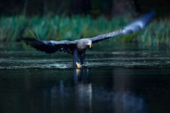 Eagle hunting. Eagle in fly above the dark lake. White-tailed Eagle, Haliaeetus albicilla, flight above water river, bird of prey stock photo
