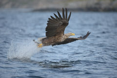 Eagle Hunting Royalty Free Stock Images