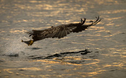 Eagle Hunting no por do sol Imagens de Stock Royalty Free