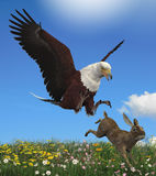 Eagle Hunting Rabbit Royaltyfri Bild