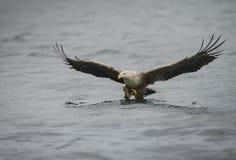 Eagle Hunting Stock Photos