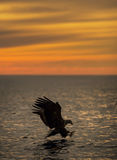 Eagle Hunting at Sunset Stock Photo