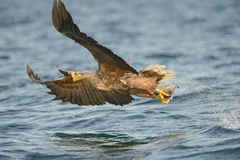 Eagle Hunting Stock Photography