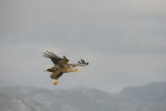 Eagle Hunting Royalty Free Stock Photo