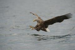 Eagle Hunting Royalty Free Stock Image