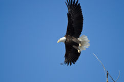 Eagle Hunting On The Wing chauve Images stock