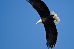 Eagle Hunting On The Wing chauve photos stock