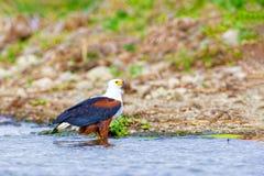 The eagle hunts on lake Nakuru. Kenya. royalty free stock images