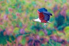 The eagle hunts on lake Nakuru. Kenya. stock images