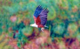 The eagle hunts on lake Nakuru. Kenya. royalty free stock photos