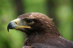 Eagle huvud på grönt bakgrundsslut upp Arkivbild