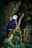 EAGLE I ALASKA Royaltyfri Foto