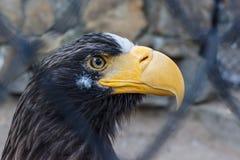 Eagle i en bur Fotografering för Bildbyråer