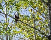 Eagle i ett träd Arkivbilder