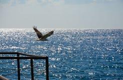 Eagle i flykten i himlen Royaltyfri Fotografi