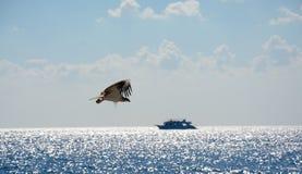 Eagle i flykten i himlen Arkivbild