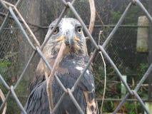Eagle i Jawa Timur Park 2 arkivbild