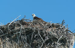 Eagle i redet på Isla de los Pajaros Arkivbilder