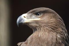 Eagle i svart bakgrund Arkivfoto