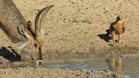 Eagle i Waterbuck Czuć mały - Dziki Ptasi tło od Afryka - Zdjęcie Royalty Free