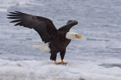 Eagle on Ice Royalty Free Stock Image
