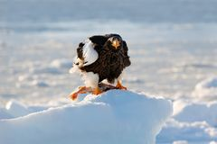 Eagle on ice. Winter Japan with snow. Beautiful Steller`s sea eagle, Haliaeetus pelagicus, bird with catch fish, with white snow,. Eagle on ice. Winter Japan Royalty Free Stock Image