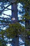 Eagle im Baum in Homer, Alaska Stockfoto