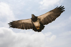 Eagle im Flug. Stockbilder