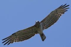 Eagle im Flug stockfoto