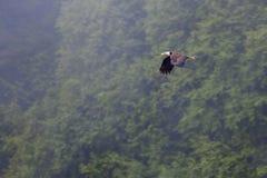Eagle im Flug Lizenzfreies Stockbild