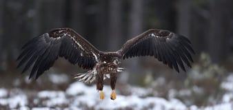 Eagle im Flug Weiß-angebundener Adler im Flug Lizenzfreies Stockbild
