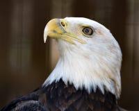 Eagle im Profil Lizenzfreie Stockbilder