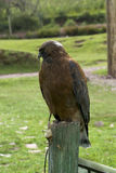 Eagle im Profil Stockfotografie