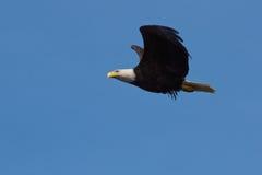 Eagle im starken Wind Stockbild