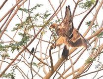 Eagle impérial photos libres de droits