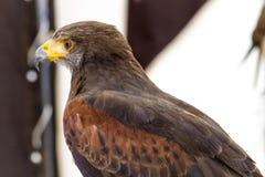 Eagle impérial photo stock