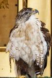 Eagle impérial images libres de droits